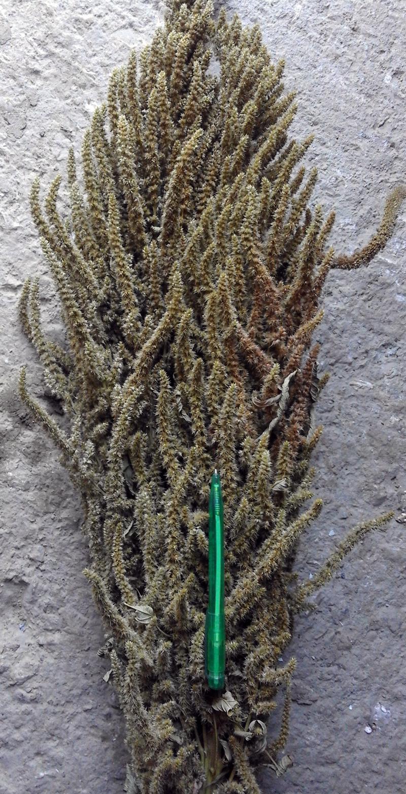 amaranto baselice 1