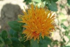 cartamo fiore