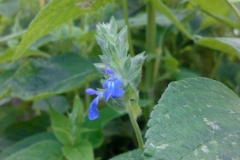 Salvia hispanica Chia 16