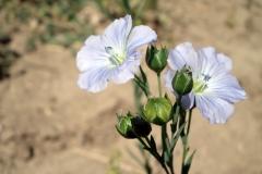fiore lino