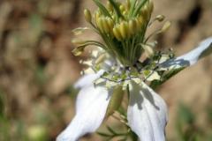 fiore nigella sativa