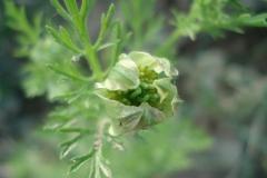 nigella sativa pianta