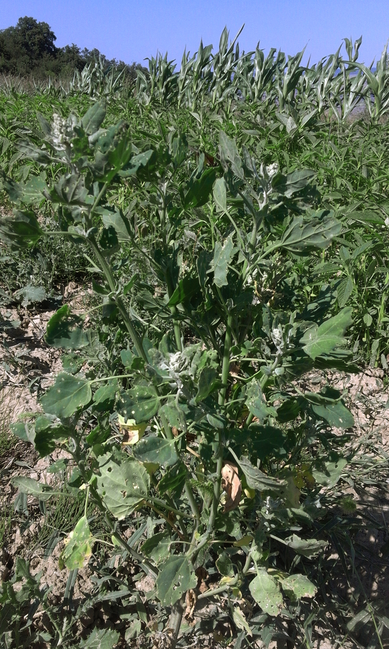 quinoa 9