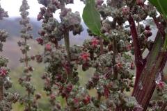 quinoa 12