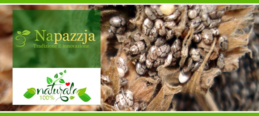 semi di chia coltivata in italia